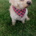 Male cavachon lost in Ballincollig