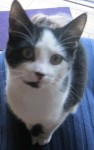 Black and white female cat lost in Shanagarry