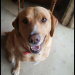 Golden lab cross found in Douglas, Cork