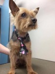 Yorkshire Terrier, black & tan, Youghal area