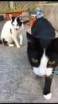 Two cats lost in Carrigaline