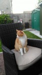 Male orange and white tabby cat lost in Carrigaline Co. Cork