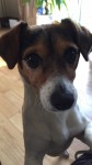 Missing Jack Russell in Waterford