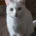 Lost white female cat in Cashel