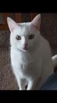 Lost white female cat in Cashel