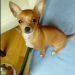 Female Chihuahua lost in Killarney