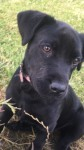 Black Lab lost in Donoughmore