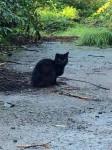 Black cat Kilmurry Co Cork. Male black