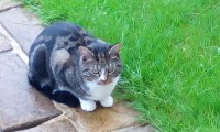 Black grey and white tabby cat lost in carrigtohill oct 2017