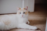White male cat lost in Cloghroe