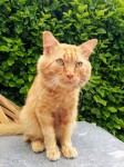 Missing ginger cat in Sarsfield rd. Cork