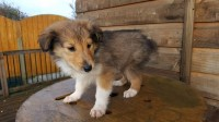 Rough Collie puppy White brown with a tint of black