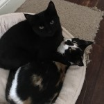 Lost Black Kitten – Ballintemple, Cork
