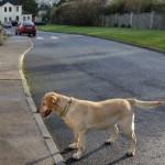 Lost Gold Labrador in Clonmel Area
