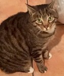 Male Tabby Cat Missing from RINGASKIDDY