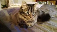 Black and brown tabby cat missing in Blackrock