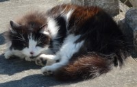 Black and White cat (called Bertie) lost in Kinsale