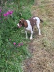 Very Old springer spaniel blind deaf on a lot of medication