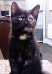 Female Tortoiseshell Kitten  missing in Frankfield Cork