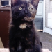 Female Tortoiseshell Kitten  missing in Frankfield Cork