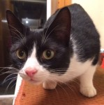 Black and white male cat Tipperary