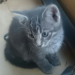 Grey female kitten lost in Adare/Limerick area