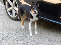 Male border collie missing from Crecora, Limerick