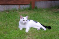 WHITE AND BLACK CAT MISSING IN LIMERICK