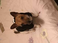 2years old jack russel brown and white and has a blue collar