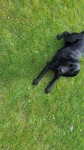 Lost female black Labrador from carrigaline