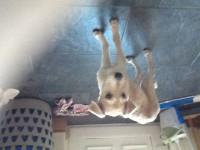 Puppy (Lurcher) found in Thurles
