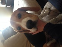 Male beagle lost carrigaline cork