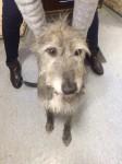 Found Deerhound Dunderrow Kinsale