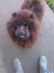Female Chow Chow lost in Mallow