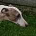 Greyhound / Whippet found in Cork City