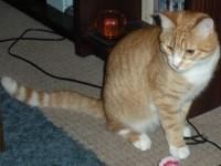 Ginger Cat lost in Pollerton, Carlow