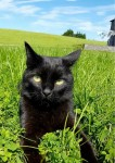 Missing all black cat from Boyle, Roscommon