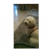 White bichon frise with red harness collar lost in Montenotte area