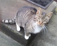 Young Tabby found in Cloghroe/Tower area