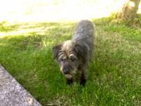 Older dog lost in Killeagh area