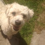 Bichon Frise found in Garryvoe