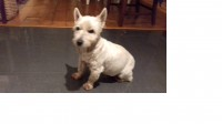 West Highland Terrier male found at The Lough