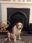 Male beagle, Browne/black/white. Tyson