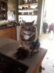 Long Hair Tabby cat found in Cork City