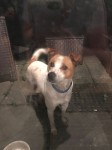 White and Brown large Terrier found in Clarina