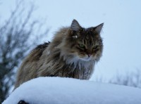 Longhaired female cat lost in Charleville, co. Cork