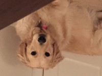 Female lost –  golden retriever Douglas