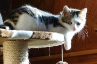 Female white & tabby spayed DSH