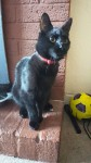 Missing black cat with red collar near western road