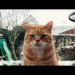 Lost ginger cat ballincollig